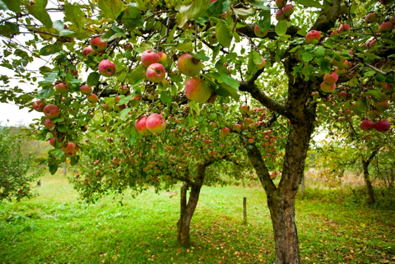 Apple trees with red apples